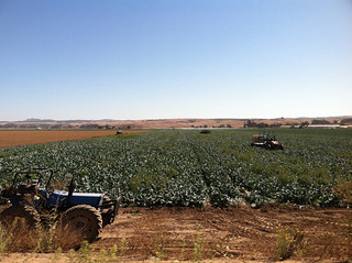 Vineyard 2011 local fields harvesting CA.jpg | by binah06