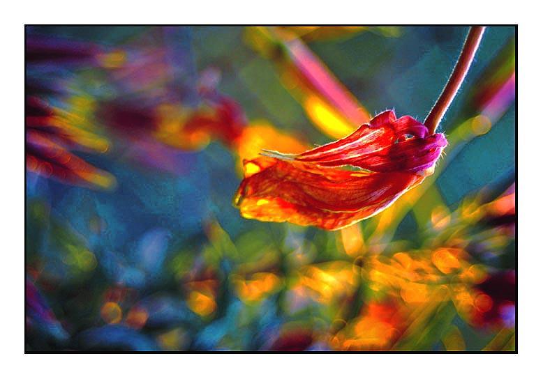 L Onagre Une Fleur Qui S Ouvre Au Coucher Du Soleil Pour Flickr