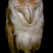 Shhh...Don't wake the Barn Owl