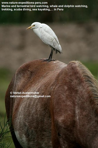 Cattle egret Birding Peru (1) | by Nature Expeditions 02