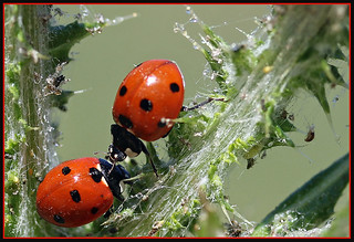 """Lady Bugs Kissy Kissy"" 