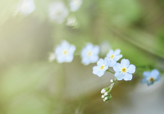 Forget Me Not | by bambooland