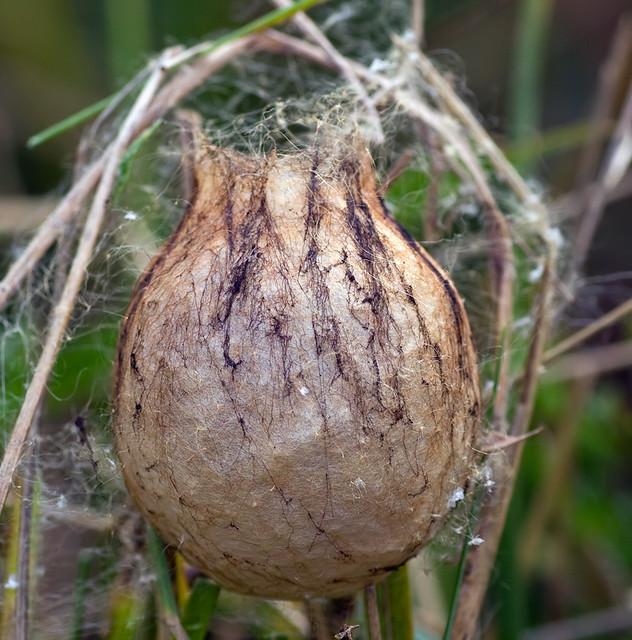 Wasp spider egg sac flickr photo sharing for Garden spider egg sac
