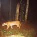 African Golden Cat - Kibale National Park, Uganda