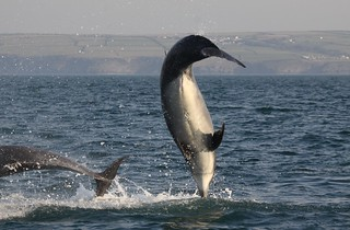 Bottlenose Dolphin | by rhys.thatcher