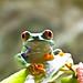 Frogs-little beauty