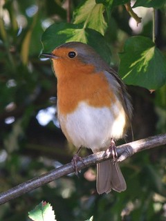 A very friendly robin ~ he kept coming back to see me so I got out my camera!!! | by Barbara * busy bee