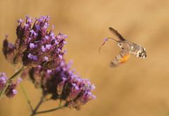 Hummingbird Hawk Moth (Flower stuck on Proboscis) by richard.heeks