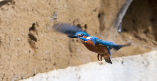 KINGFISHER. coming in for landing | by stephen staples