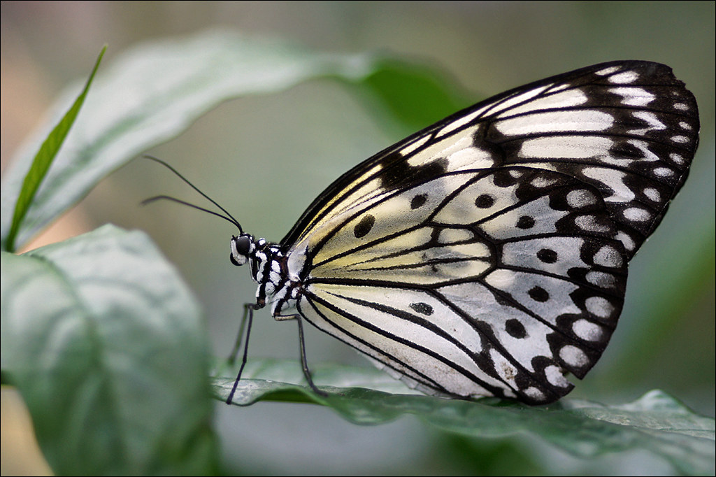 Resting rice paper butterfly the rice paper butterfly or for White paper butterflies