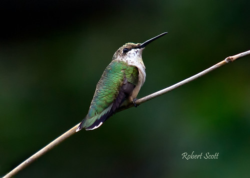 Female Ruby-throated Hummingbird. | by Robert Scott Photographyy