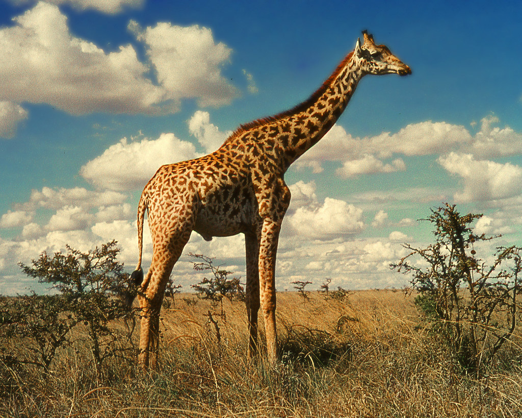 Giraffe The Animal Files