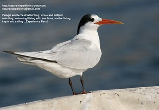 Elegant tern Birding Peru (6) | by Nature Expeditions 02