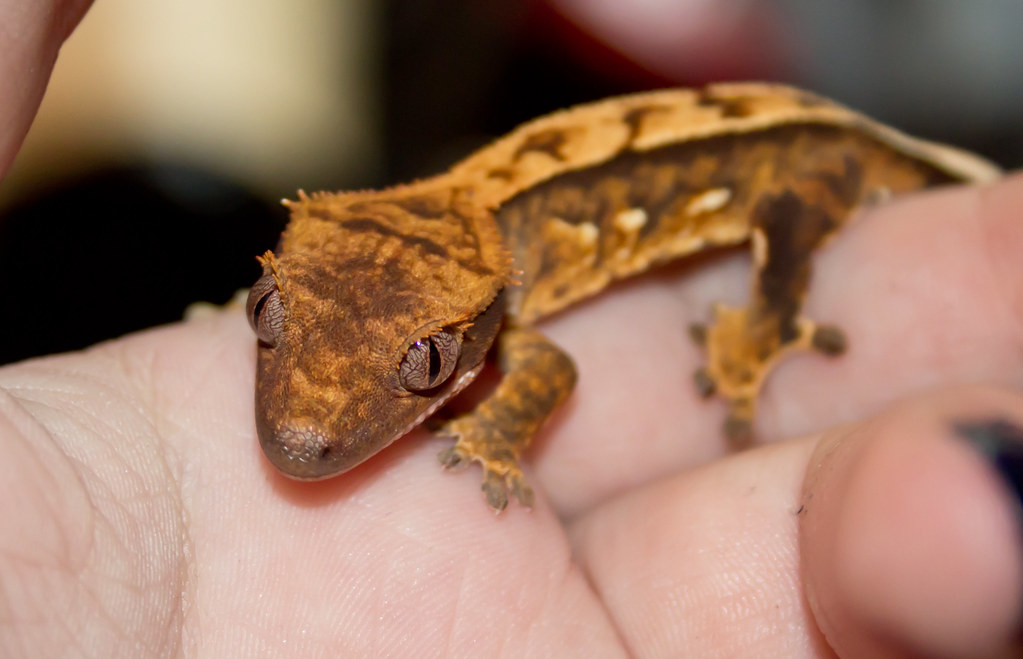 Crested Gecko Food Recipe