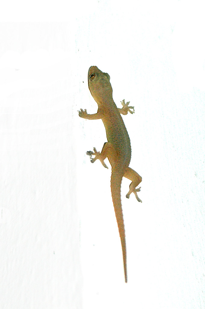 Palli (gecko) | I loved the little geckos (in malayalam