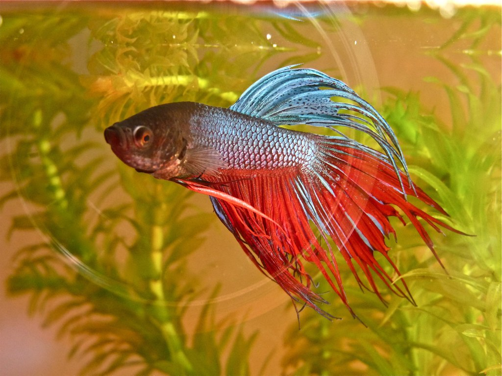 paul jr crowntail betta siamese fighter fish