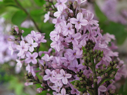 Lilac flower © ROH/2011 | by Royal Opera House Covent Garden