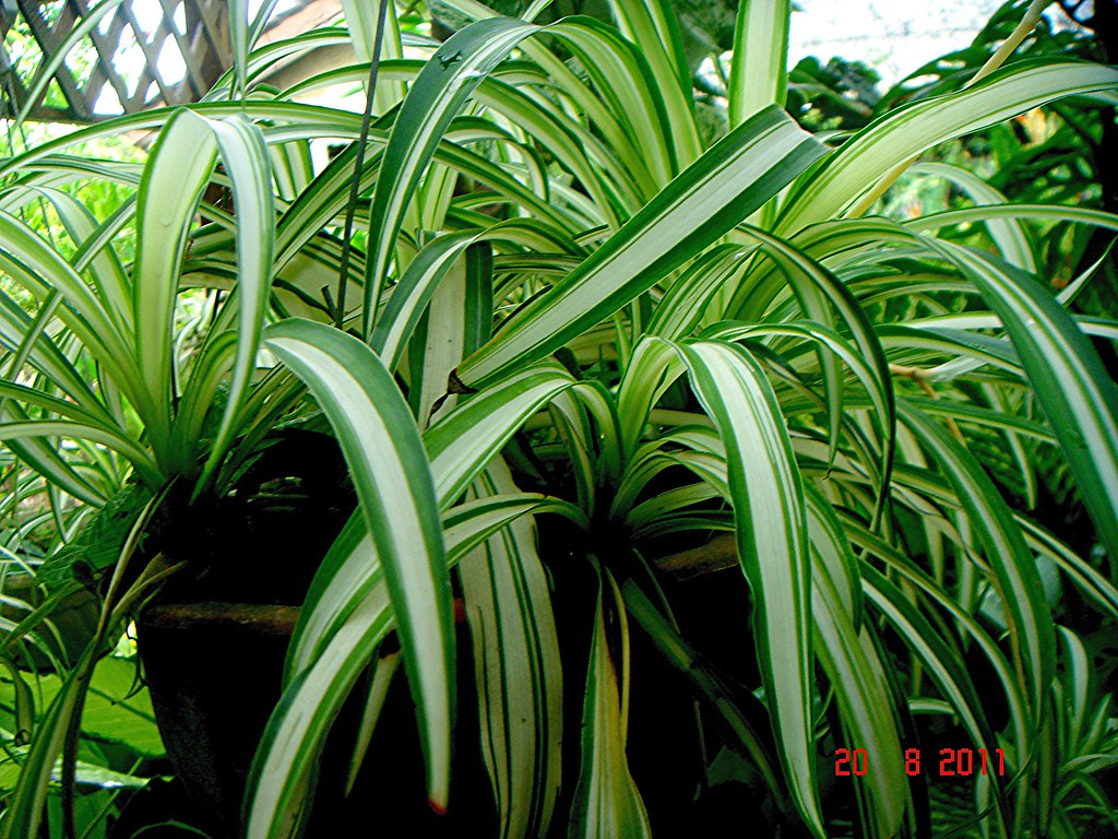 Chlorophytum Comosum Thunb Jacques Mom Che Puteh S