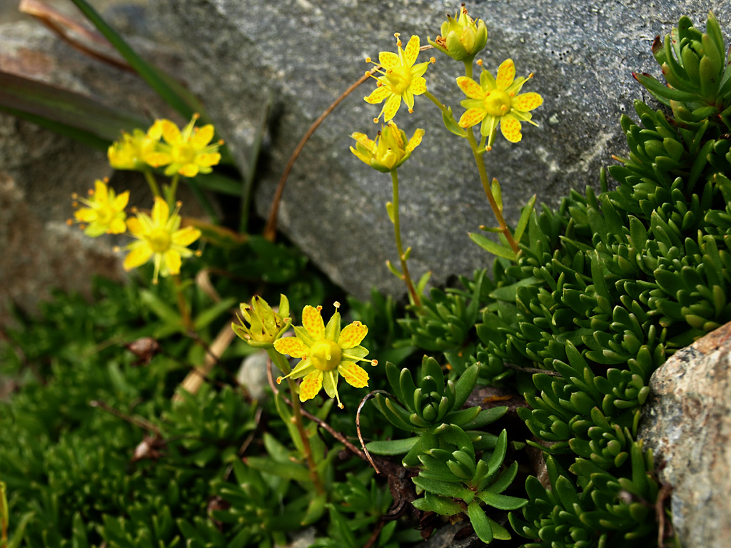 Yellow Mountain Saxifrage Yellow Mountain Saxifrage Saxif Flickr