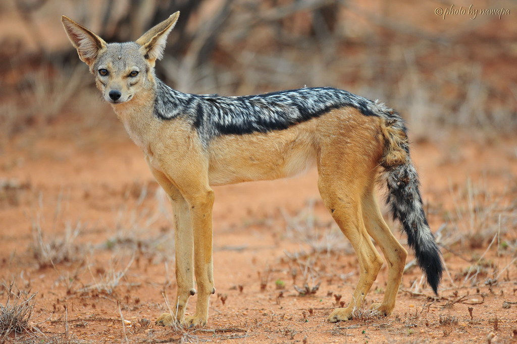 the black backed jackal samburu national reserve rift