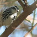 Black-and-White Warbler 20110914