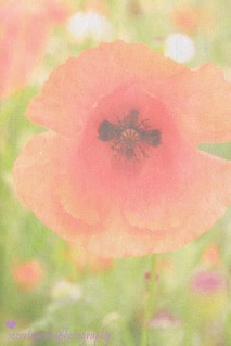Poppy Fine Art | by prestonchick