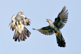 Cuckoo (Cuculus canorus) males fighting | by Richard Nicoll