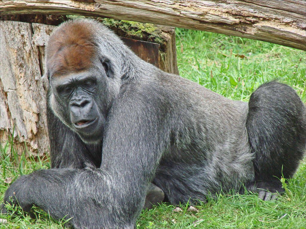 gorille zoo de berlin gorille flachland gorilla le zoo flickr. Black Bedroom Furniture Sets. Home Design Ideas