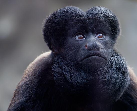 Beardy Monkey: Southern Bearded Sakis Monkey