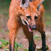 Walking maned wolf