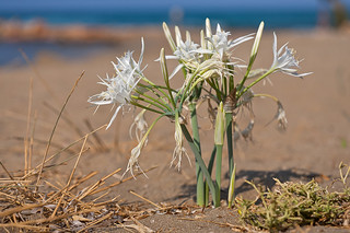 Sea Daffodils (2/5) | by macropoulos