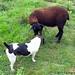 Bert and his brown lamb fan 2