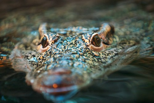 Crocodile | by Radek Vitoul
