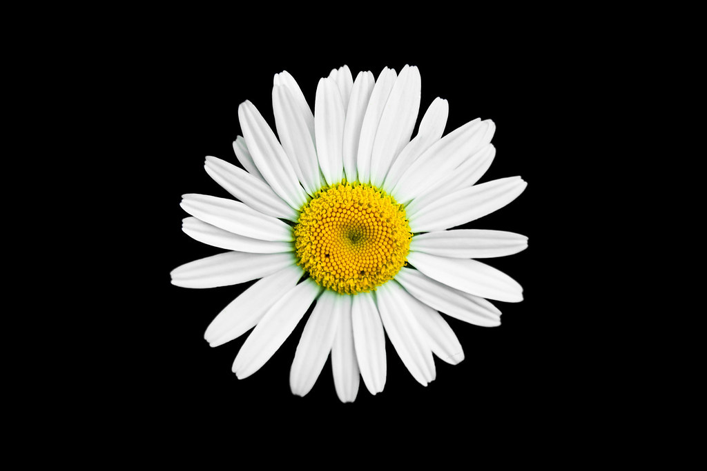 SINGLE WHITE DAISY W BLACK BACKGROUND | MonicaG8 | Flickr