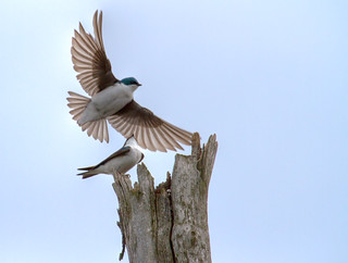 Hirondelles bicolore - Tree swallows | by Indydan
