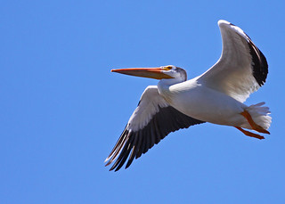 American White Pelican...#6 | by Guy Lichter Photography - 3.6M views Thank you