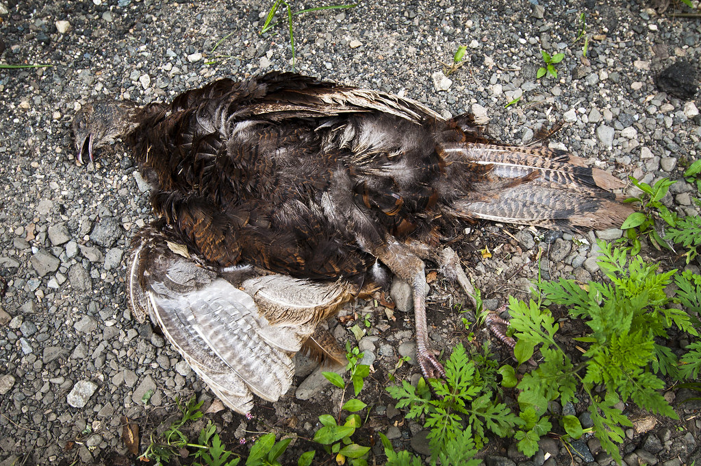 Turkey Pictures Dead Dead Turkey | by