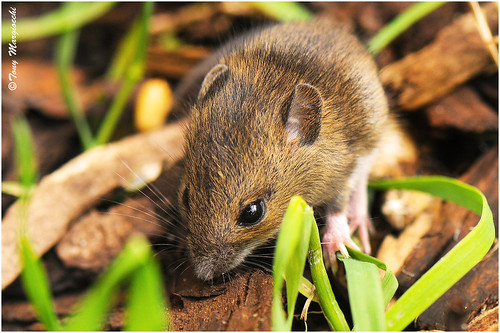 Field mouse in the undergrowth | by Tony Margiocchi (Snapperz)