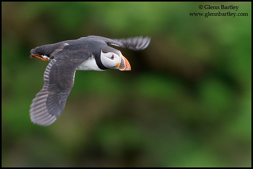 Atlantic Puffin (Fratercula arctica) | by Glenn Bartley - www.glennbartley.com