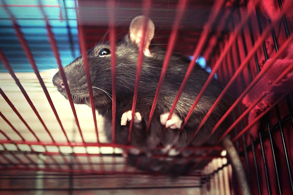 Ilustračná fotografia potkana. Potkan bol do malej klietky presunutý len kvôli fotografii. Fotografia: Tupá Lucia