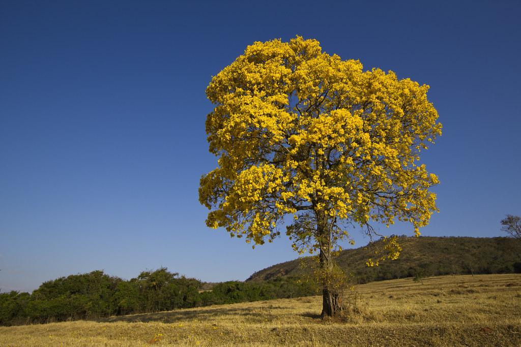 Golden Trumpet Tree Ip 234 Amarelo Tabebuia Chrysotricha