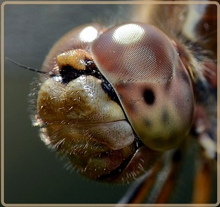 dragonfly (2) | by Armin Rodler