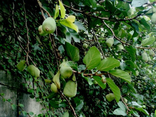 Ficus Pumila L Kelana Jaya Selangor Malaysia Ficus