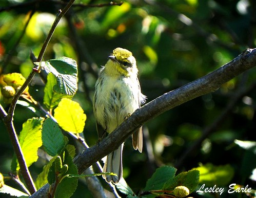 I'm thinking a Black-throated green warbler | by Lesley E.