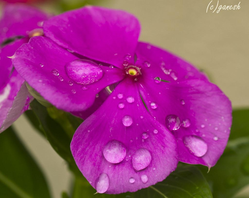 Pink Periwinkle Flower With Droplets Pink Periwinkle Flowe Flickr