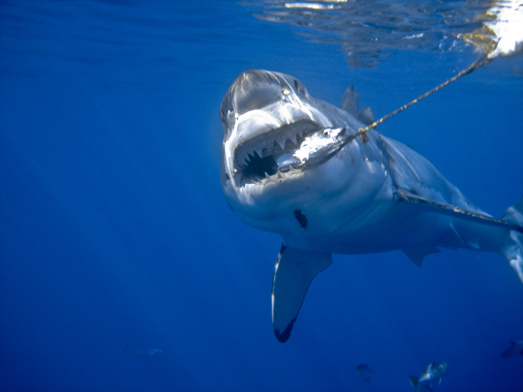 Great white shark bite | This is a re-process of an old ...