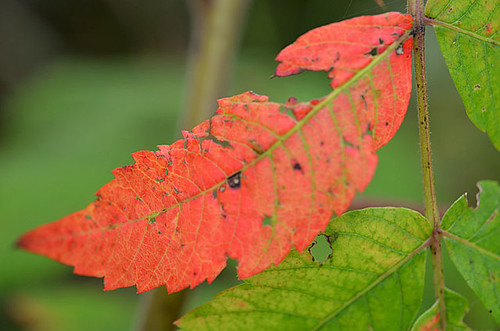 first red leaf | by coco knits