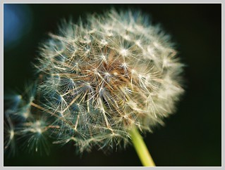 Pusteblume | by tomoenage01
