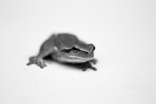 Hyla meridionalis #3 | by storvandre
