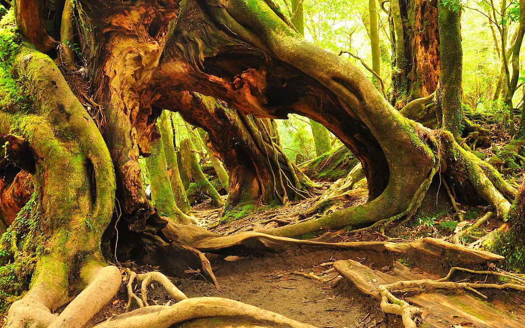 Yakusugi, Yakushima | en.wikipedia.org/wiki/Yakushima | Shrinath Kurdekar | Flickr